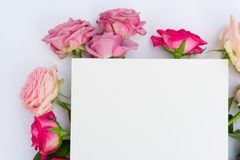 Violet and pink blooming roses Stock Photo