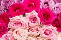 Violet and pink blooming roses Stock Photography