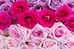 Violet and pink blooming roses Royalty Free Stock Photography