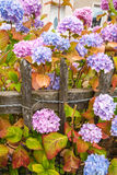 Violet, pink and blue hydrangea blossom Stock Image