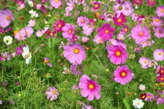Violet and pink cosmos flowers in the field Stock Images