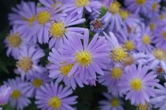 Violet pink daisy aster close up Stock Photos