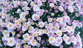 Free Violet, Pink Field Flowers Background, Chamomile, Daisy, Marguerite. Background Stock Images - 157998854