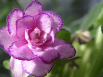 Violet. Pink violet flower on a blue-green background Stock Photos