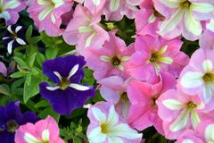 Violet and pink flowers, background Stock Photo