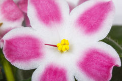 Violet pink flowers close up Royalty Free Stock Photography