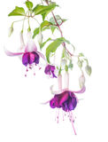 Violet and pink fuchsia flower with bud isolated Stock Image