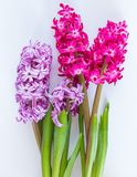 Violet and Pink Hyacinth flowers Stock Images