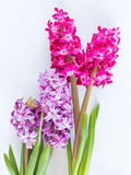 Violet and Pink Hyacinth flowers Royalty Free Stock Image