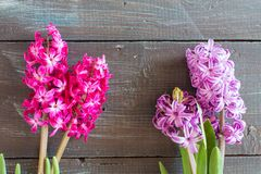 Violet and Pink Hyacinth flowers Royalty Free Stock Photography
