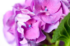 Violet pink hydrangea flowers Stock Photos