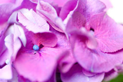 Violet pink hydrangea flowers Stock Images