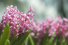 Violet Pink Little Flowers hermosa en el jardín Foto de archivo