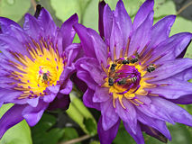 Violet Pink Lotus. Violet Lotus or purple water lily with bee pollen Royalty Free Stock Photo
