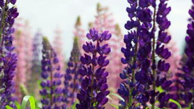 Violet and pink lupines stock video
