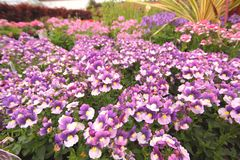Violet and pink nemesia flowers Stock Photos