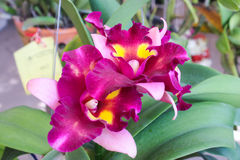 Violet and pink orchid flowers Royalty Free Stock Photo