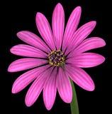 Violet Pink Osteospermum Flower Isolated en negro Imágenes de archivo libres de regalías