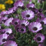 Violet Pink Osteosperumum Flower Daisy Fotografía de archivo libre de regalías