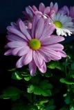 Violet Pink Osteosperumum Flower Daisy Imagem de Stock Royalty Free