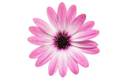 Violet Pink Osteosperumum Flower Daisy Isolated on White Backgro Stock Photo