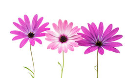 Violet Pink Osteosperumum Flower Daisy Isolated on White Backgro Royalty Free Stock Images