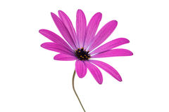 Violet Pink Osteosperumum Flower Daisy Isolated on White Backgro Royalty Free Stock Photo