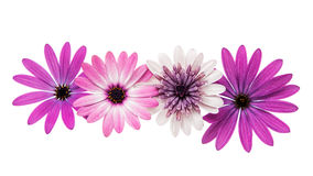 Violet Pink Osteosperumum Flower Daisy Isolated on White Backgro Royalty Free Stock Photography