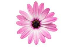 Violet Pink Osteosperumum Flower Daisy isolerade på vita Backgro arkivfoto