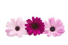 A violet Pink Osteosperumum Flower Daisy White Background Royalty Free Stock Photos