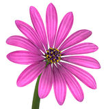 Violet Pink Osteosperumum Flower Isolated on White Stock Images