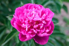 Violet-pink peony flower on green leaves background stock photos