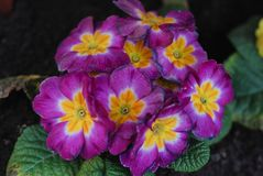 Violet and Pink Primrose or Primola Flowers with green leaves. Concept of spring, selection, buying flowers in pots for royalty free stock photos