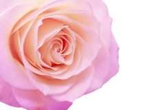 Violet and pink rose heart closeup Stock Images