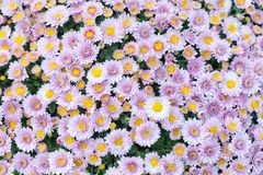 Violet pink yellow chrysanthemum flowers field background. Floral still life with many colorful mums. Selective focus. Photo Stock Image
