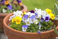 Violet Planters Stock Photo