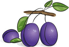 Violet plums Royalty Free Stock Photos