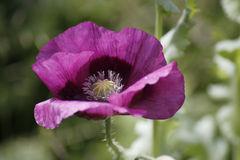 Violet Poppy. Violet or purple Poppy blooming in the cottage garden Royalty Free Stock Photos