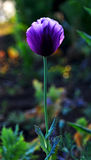 Violet poppy Stock Photo