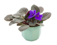 Violet in pot Royalty Free Stock Photos