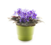 Violet in pot. Violets in green ceramic pot isolated on white Stock Photos