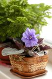 Violet in pot. Small piece of nature in our house on the window Royalty Free Stock Images