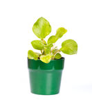Violet in a pot Royalty Free Stock Photography