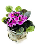 Violet in pot. Violet in a pot on a white background Royalty Free Stock Photography