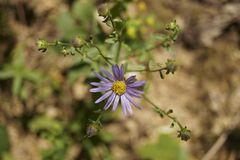 Violet prairie aster  - Aster amellus Royalty Free Stock Image