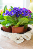 Violet primrose flower in pot Royalty Free Stock Photography