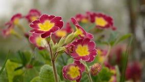 Violet primrose stock video footage