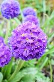 Violet primrose Primula denticulata Royalty Free Stock Images