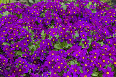 Violet primroses Royalty Free Stock Photography
