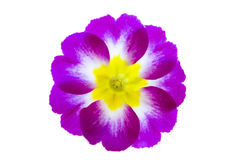 Violet Primula Flowers Royalty Free Stock Photography